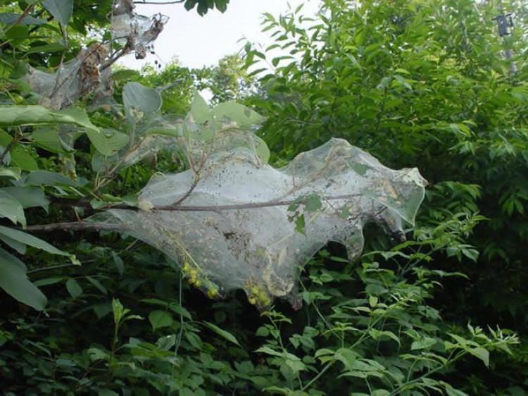 На Волині виявили шкідника, який знищує трав'янисті та деревні культури
