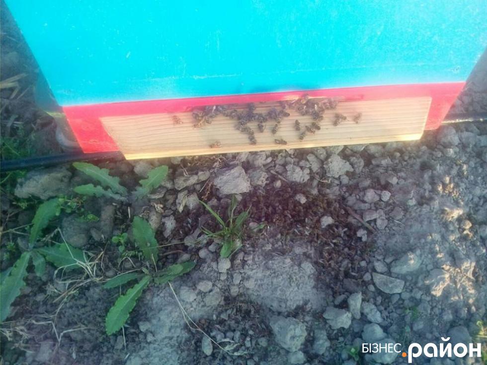 Через кропіння хімікатами ріпакових полів у Турійському районі загинуло тисячі бджіл у півтисячі вуликів