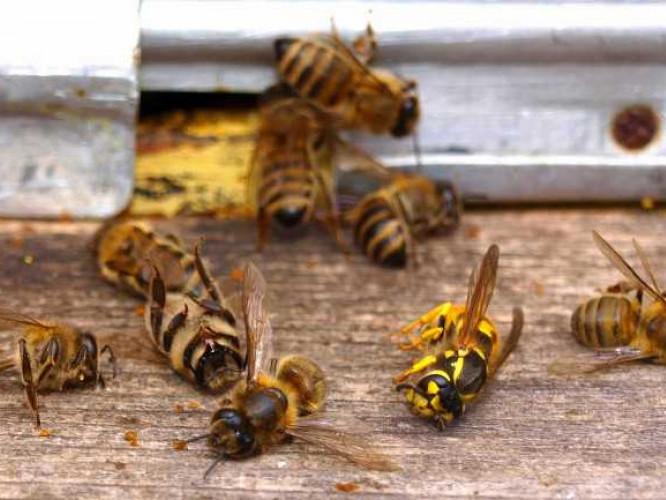 Показали, як вирішують ситуацію з підмором бджіл