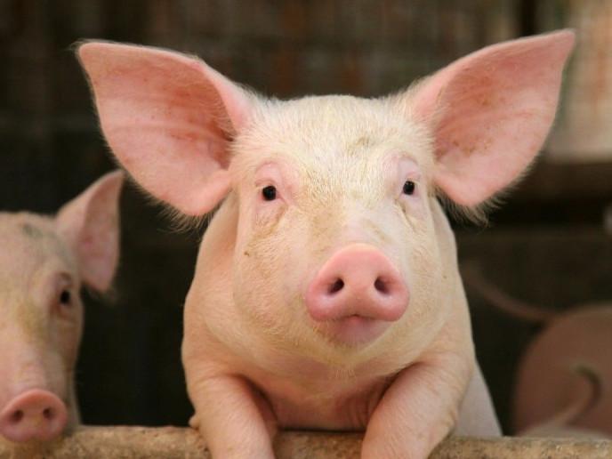 Свиня з Турійщини може стати символом року