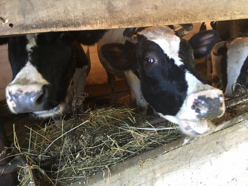 В господарстві є корови «рекордистки», які дають більше 30 літрів молока на добу.